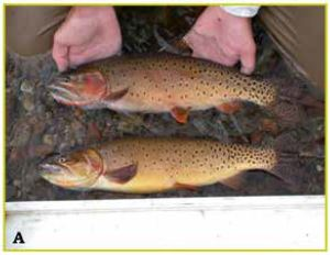 Wild Waters for Wild Trout: Looking to the Next 50 Years